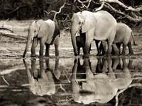 African Elephants, Okavango, Botswana Fine Art Print