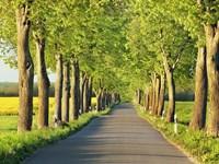 Lime Tree Alley, Mecklenburg Lake District, Germany 1 Fine Art Print