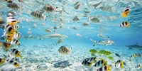 Fish and sharks in Bora Bora lagoon Fine Art Print