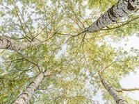 Birch Woods in Spring Fine Art Print