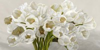 Tulipes Blanches Fine Art Print