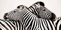 Zebras in Love Fine Art Print