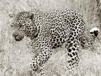Leopard hunting Framed Print