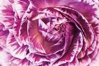 Ranunculus Abstract VI Color Fine Art Print