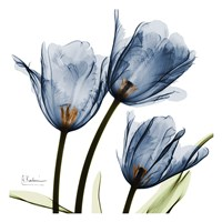 New Blue Tulips C54 Framed Print