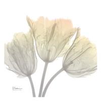 Sunday Morning Tulips Framed Print