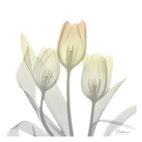 Sunday Morning Tulips Two Framed Print