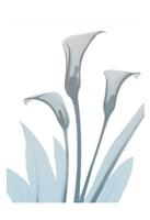 Serene Calla Lily 2 Framed Print