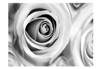 White Noise Rose 1 Framed Print