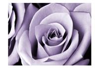 Lavender Rose Framed Print