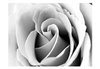 White Noise Rose 3 Fine Art Print