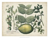 Exotic Weinmann Botanical II Framed Print