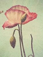 Poppy with Stem Fine Art Print