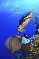 Hawksbill Sea Turtle and Gray Angelfish Fine Art Print