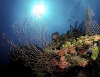 Gorgonian Sea Fans on Cayman's North Wall, Grand Cayman Fine Art Print