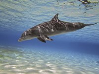 Bottlenose dolphin swimming the Barrier Reef, Grand Cayman Fine Art Print
