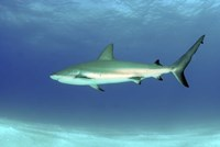 Caribbean reef shark, Nassau, The Bahamas Fine Art Print