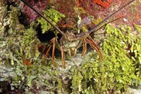 Spiny lobster hiding in the reef, Nassau, The Bahamas Fine Art Print