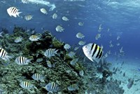 School of sergeant major fish, Nassau, The Bahamas Fine Art Print