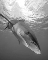 Oceanic Whitetip Shark, Cat Island, Bahamas Fine Art Print