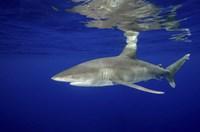 Oceanic Whitetip shark Fine Art Print