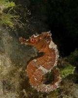 Orange seahorse, West Palm Beach, Florida Fine Art Print