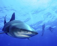 Diver swimming with Oceanic Whitetip Sharks, Cat Island, Bahamas Fine Art Print