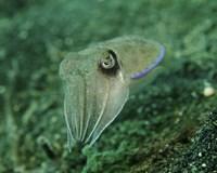 Golden Cuttlefish, Lembeh Strait, Indonesia Fine Art Print