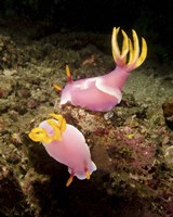 Pair of pink Nudibranchs, Lembeh Strait, Indonesia Fine Art Print