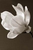 Sepia Magnolia Fine Art Print