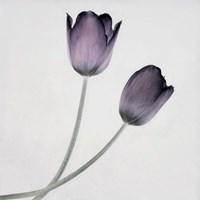 Tulip IV Fine Art Print