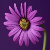 Purple Beauty Fine Art Print