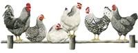Hens, White Background Fine Art Print