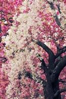 Asian Cherry Fine Art Print