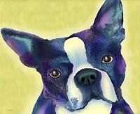 Boston Terrier 1 Fine Art Print