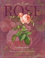 Cabbage Rose Fine Art Print