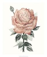 Beholden Rose II Fine Art Print
