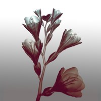 Ombre Freesia Flowers X-Ray Fine Art Print