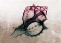 Ombre Sea Shell X-Ray Fine Art Print