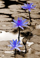 Pop of Color Lotus Flowers Fine Art Print