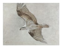Searching Osprey Fine Art Print