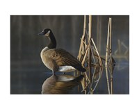 Greet the Sun - Canada Goose Fine Art Print