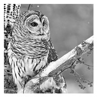 White Owl Fine Art Print