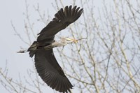 Great Blue Heron, flying back to nest with a stick Fine Art Print