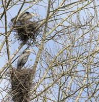 Great Blue Herons, on nest at rookery Fine Art Print
