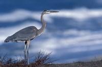 Great Blue Heron, Costa Rica Fine Art Print