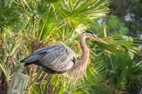 Great Blue Heron at Gatorland Fine Art Print