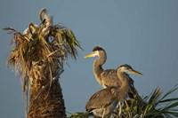 Great Blue Heron bird, Viera wetlands, Florida Fine Art Print