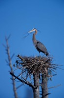 Great Blue Heron bird, Lubberland Creek, NH Fine Art Print