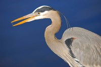 Great Blue Heron bird, Commonwealth Lake Park, Beaverton, Oregon Fine Art Print